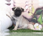 Small #1 Pug