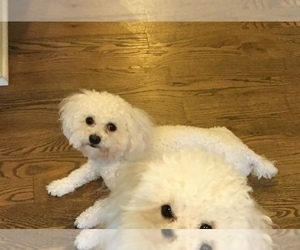 Poodle (Toy) Puppy for sale in COLUMBIA, TN, USA