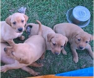 Labrador Retriever Puppy for sale in LADORA, IA, USA