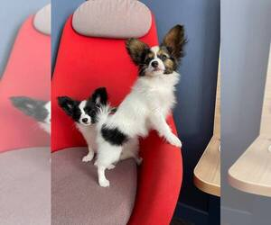 Papillon Puppy for Sale in SAN DIEGO, California USA