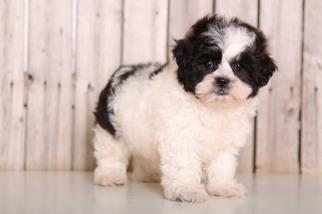 Zuchon Puppy for sale in MOUNT VERNON, OH, USA