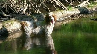 Father of the Goldendoodle puppies born on 03/10/2016