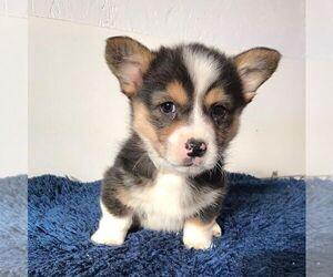 Pembroke Welsh Corgi Dog for Adoption in HAVEN, Kansas USA