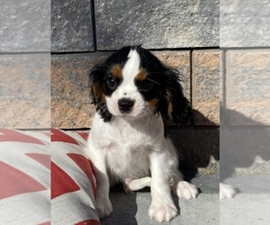 Cavalier King Charles Spaniel Puppy for sale in SENECA FALLS, NY, USA