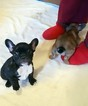 French Bulldog Puppy For Sale in BENDENA, KS