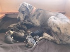 Great Dane Puppy For Sale in VALLEY CENTER, CA, USA