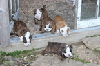 English Bulldogge-Victorian Bulldog Mix Puppy For Sale in MOUNT HOPE, WI, USA