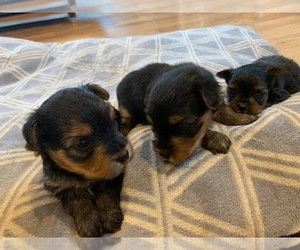 Yorkshire Terrier Puppy for sale in W WARWICK, RI, USA