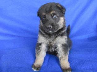 German Shepherd Dog Puppy for sale in HOWE, OK, USA