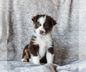 Miniature Australian Shepherd Puppy for sale in NARVON, PA, USA