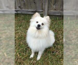 Pomeranian Puppy for sale in PANTHER CREEK, TX, USA