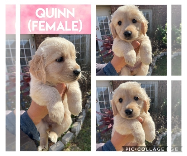Full screen Photo #1 Golden Retriever Puppy For Sale in MISSOURI CITY, TX, USA