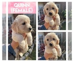 Small Photo #1 Golden Retriever Puppy For Sale in MISSOURI CITY, TX, USA