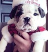 Bulldog Puppy For Sale in TOOELE, UT, USA