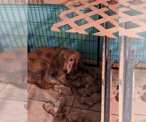 Mother of the Golden Retriever puppies born on 04/25/2020