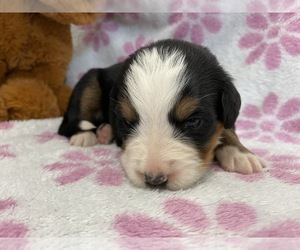 Bernese Mountain Dog Puppy for sale in ATKINSON, NE, USA