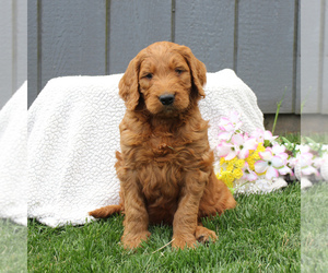 Goldendoodle-Poodle (Standard) Mix Puppy for sale in EAST EARL, PA, USA