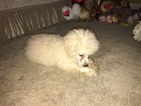 Poodle (Standard) Puppy For Sale in DEARBORN HEIGHTS, MI, USA