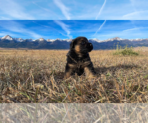 German Shepherd Dog Puppy for Sale in WESTCLIFFE, Colorado USA
