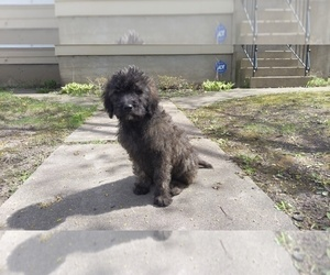 Goldendoodle Puppy for sale in INGLESIDE, IL, USA