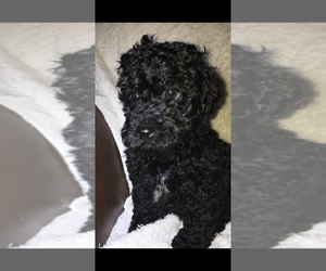 Poodle (Toy) Puppy for sale in MOMEYER, NC, USA