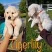 Golden Retriever Puppy For Sale in MOUNT PLEASANT, TX, USA
