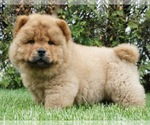 Small #2 Chow Chow