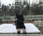 Puppy 3 German Shepherd Dog