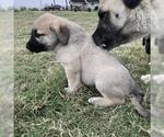 Small #4 Anatolian Shepherd