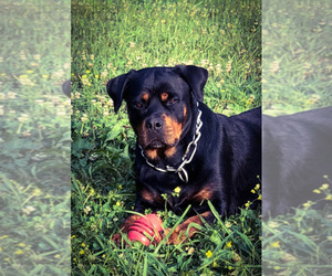 Mother of the Rottweiler puppies born on 10/14/2020