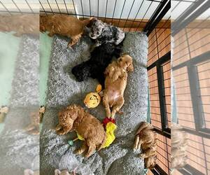 Cavapoo Puppy for sale in CHARLOTTE, NC, USA