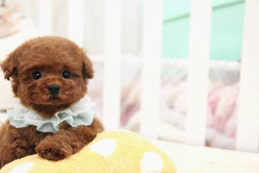 Poodle (Toy) puppy
