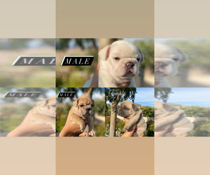 French Bulldog Puppy for sale in FONTANA, CA, USA