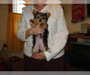 Australian Yorkshire Terrier Puppy for sale in CLIFTON, VA, USA