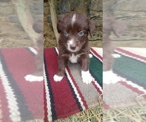 Australian Shepherd Puppy for Sale in DOWELLTOWN, Tennessee USA