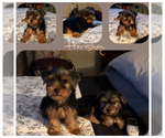 Small #1 Poodle (Toy)-Yorkshire Terrier Mix