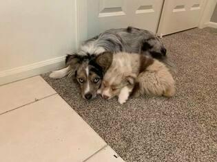 Miniature Australian Shepherd Puppy For Sale in WHITE SALMON, WA, USA