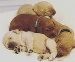 Goldendoodle-Poodle (Standard) Mix Puppy For Sale in ALEX CITY, AL, USA