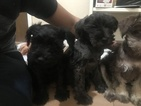 Schnauzer (Miniature) Puppy For Sale in SAN PABLO, CA, USA