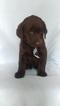 Labrador Retriever Puppy For Sale in ANDREWS BRIDGE, PA, USA