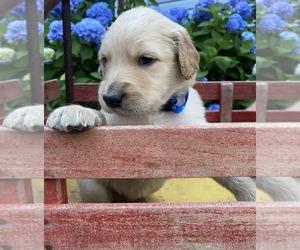 Goldendoodle-Poodle (Standard) Mix Dog for Adoption in MONTVALE, Virginia USA