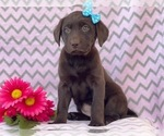 Small #7 Labrador Retriever