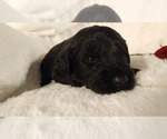 Small #11 Poodle (Miniature)-Soft Coated Wheaten Terrier Mix