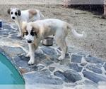 Puppy 0 Anatolian Shepherd-Maremma Sheepdog Mix