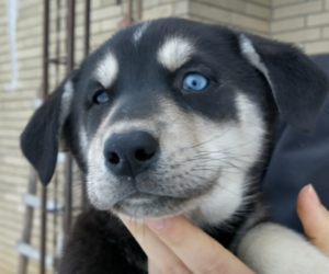 Labrador Retriever-Siberian Husky Mix Puppy for sale in SOUTH WAYNE, WI, USA