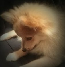 Pomeranian Dog For Adoption in TEMPE, AZ, USA