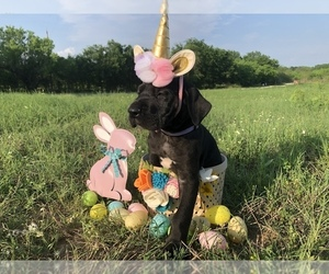 Great Dane Puppy for Sale in HONDO, Texas USA
