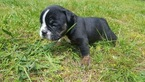 Olde English Bulldogge Puppy For Sale in OLALLA, WA, USA