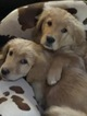 Golden Retriever Puppy For Sale in LODI, New York,