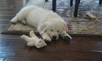 Female cream golden retrievers puppy